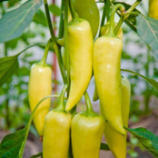 Botanical - Capsicum anuum