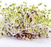 Botanical - Brassica sinapsis