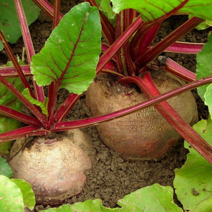 how to get beetroot seeds