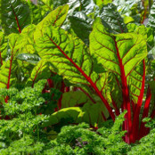 Botanical - Beta vulgaris