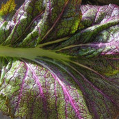 Botanical - Brassica juncea