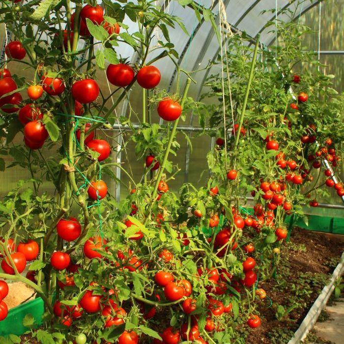 Gardeners Delight Tomato Growing Tips Fasci Garden