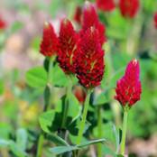Botanical - Trifolium incarnatum