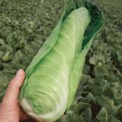 Cabbage Seeds - Dutchman F1
