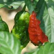 Chilli Seeds - Bhut Jolokia