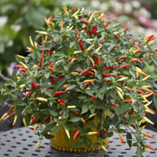 Chilli Seeds - Basket of Fire