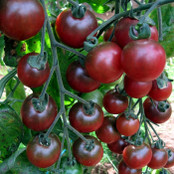 Tomato Seeds - Rosella F1