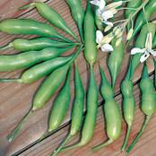 Radish Seeds - Munchen Bier