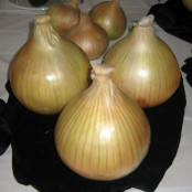Onion Seeds - Globo