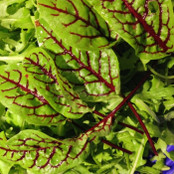 Sorrel Seeds - Red Veined