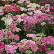 Achillea Seeds - Summer Berries F2
