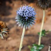 Echinops Seeds - Ritro