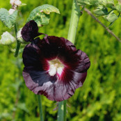Hollyhock Seeds - Black