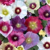 Hollyhock Seeds - Halo Mixed
