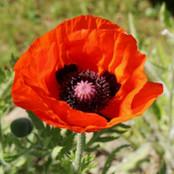 Poppy Seeds - Brilliant