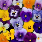 Viola Seeds - Sorbet Mixed F1