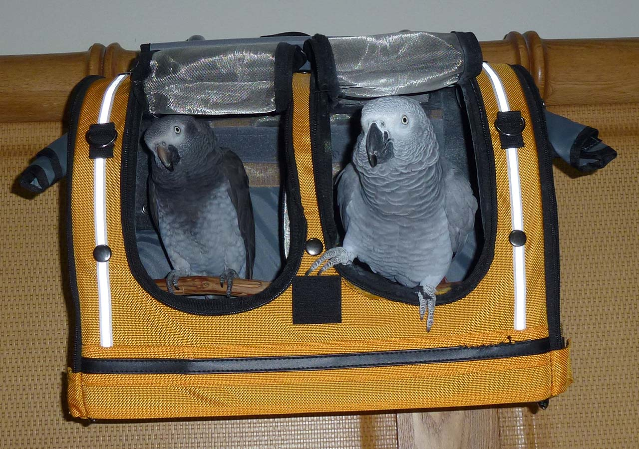 Timneh and Congo Greys