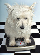 Weighing Westie Birthday Card