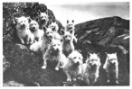 Westies on a Hillside Vintage Card