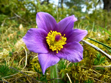 Pulsatilla Nigricans Homeopathic Remedy