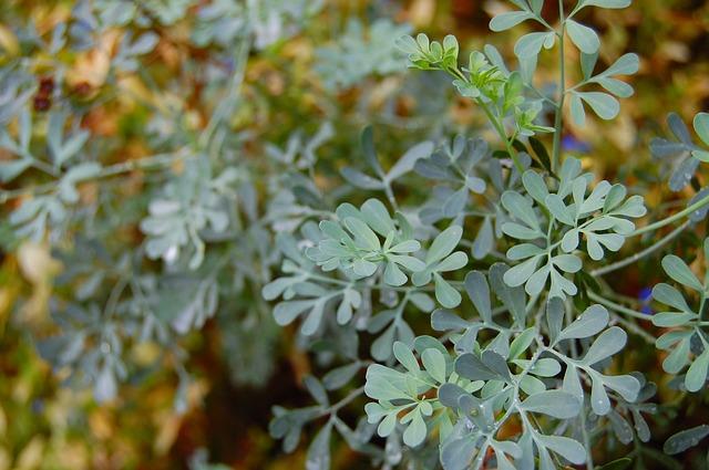 Ruta Graveolens Homeopathic Remedy