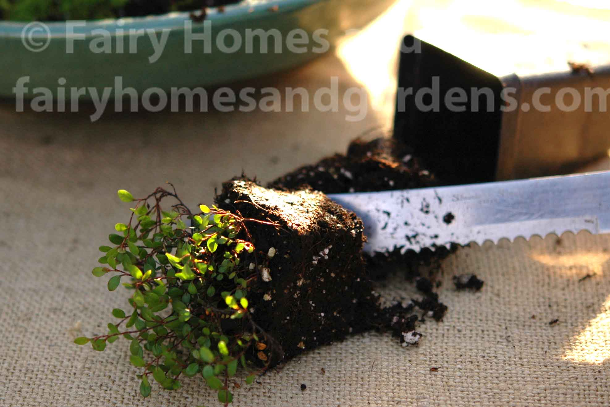 close-up of trimming roots of terrarium plant