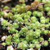 Sedum grisbachii - Miniature Sedum