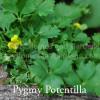 Potentilla rantzii 'Pygmaea' - Pygmy Potentilla