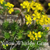 Draba alzoides - Yellow Whitlow Grass