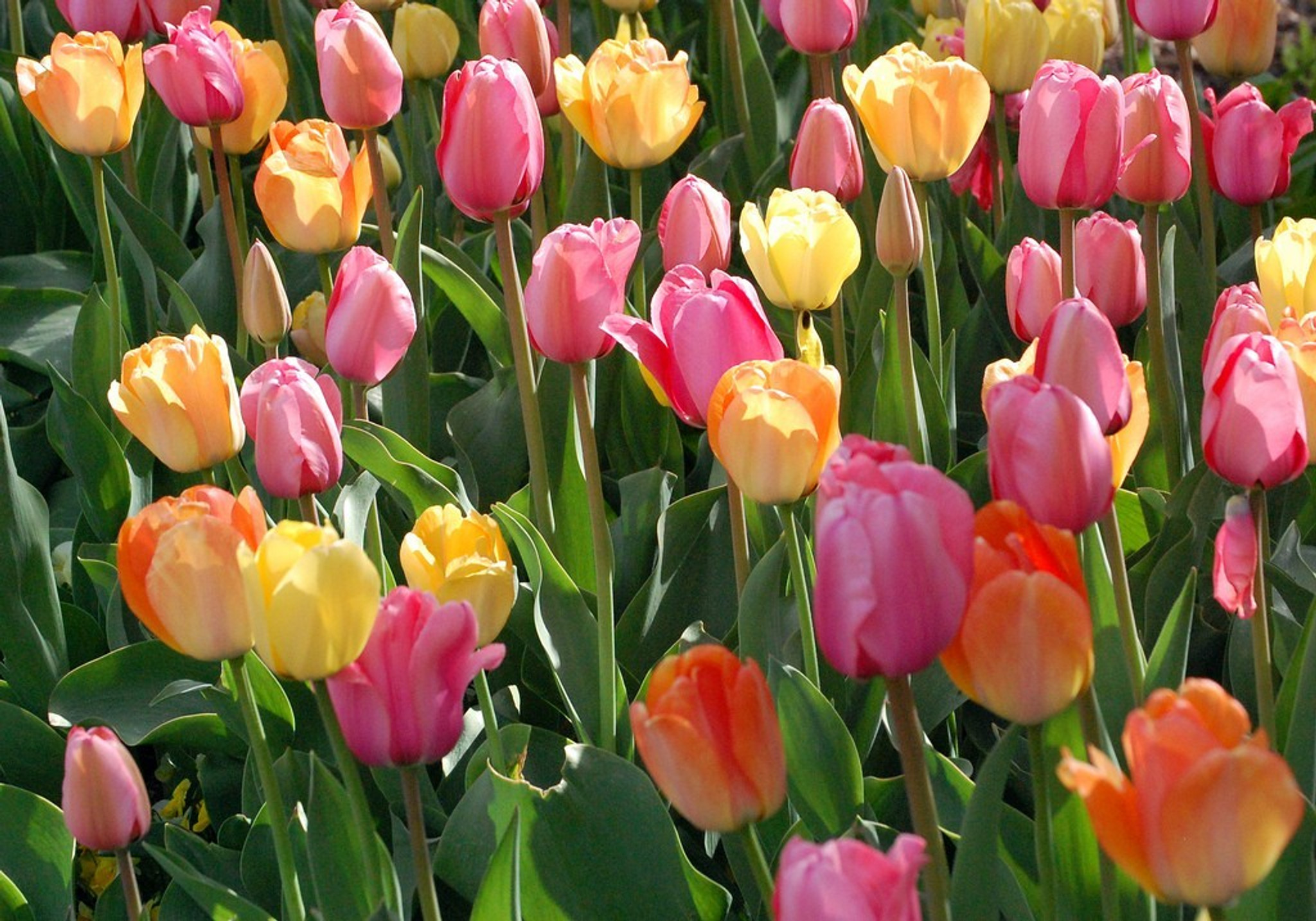 ​How to Grow Prize Winning Tulips