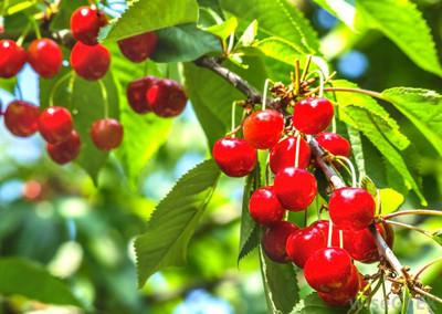 Prunus cerasus 'Montmorency'