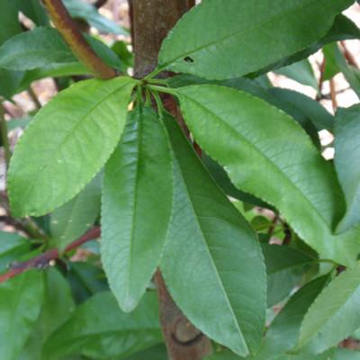 Prunus peach 'Elberta'