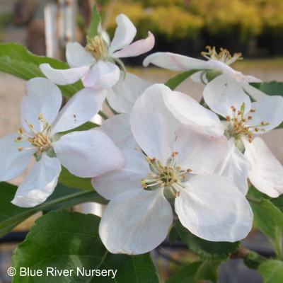Malus apple 'Honeycrisp'