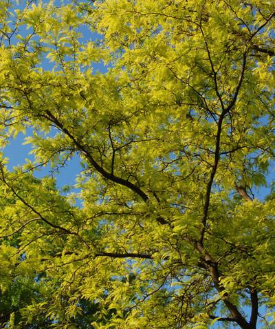 Gleditsia triacanthos var. inermis 'Suncole' Sunburst