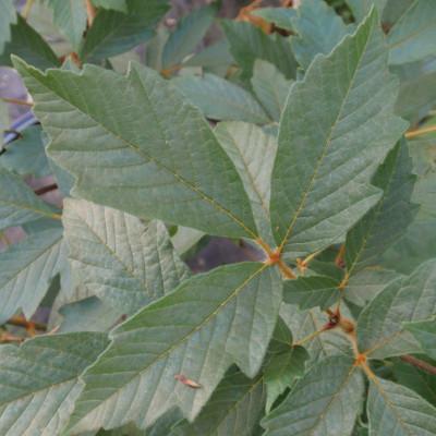 Acer griseum x nikoense 'Molly Fordham'