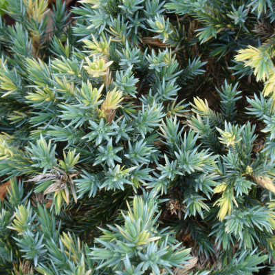 Juniperus squamata 'Blue Star Variegated'