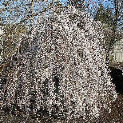 Prunus x 'Snofozam' Snow Fountains