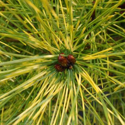 Pinus densiflora 'Burkes Red Variegated'