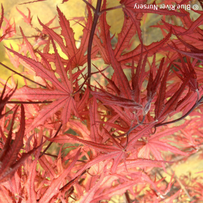 Acer palmatum 'Purple Ghost'