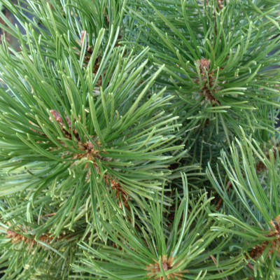 Pinus mugo 'Lew Hill Upright'