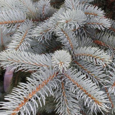 Picea pungens 'Kosteri'