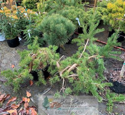 Pinus banksiana 'Uncle Fogy'