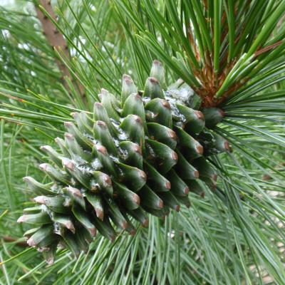 Pinus koraiensis 'Morris Blue'