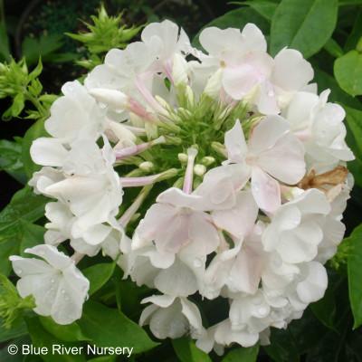 Phlox paniculata 'White Flame'