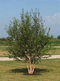 Betula nigra 'Cully' Heritage