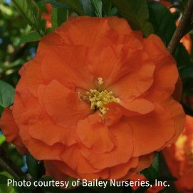 Chaenomeles 'Orange Storm'