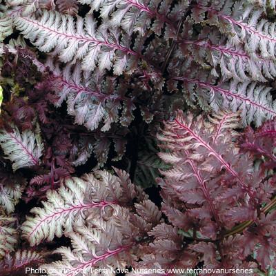 Athyrium ' Burgundy Lace' Photo(s) courtesy of TERRA NOVA® Nurseries, Inc. www.terranovanurseries.com