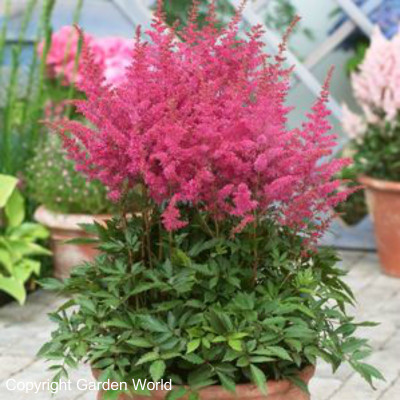 Astilbe chinensis 'Younique Lilac'