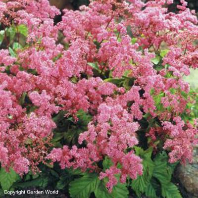 Filipendula vulgaris 'Kahome'