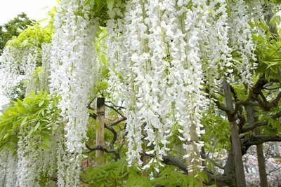 Wisteria flor. 'Longissima Alba'